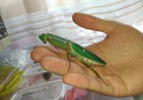 Полюбить богомола: житель Мытищ устроил дома домашнюю ферму насекомых